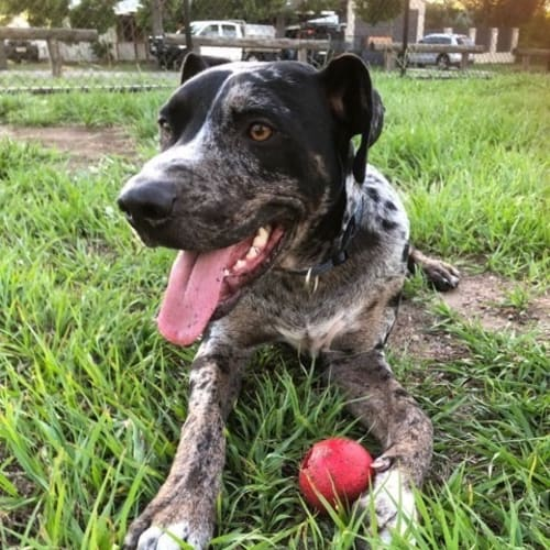 Lennon  - Catahoula Dog