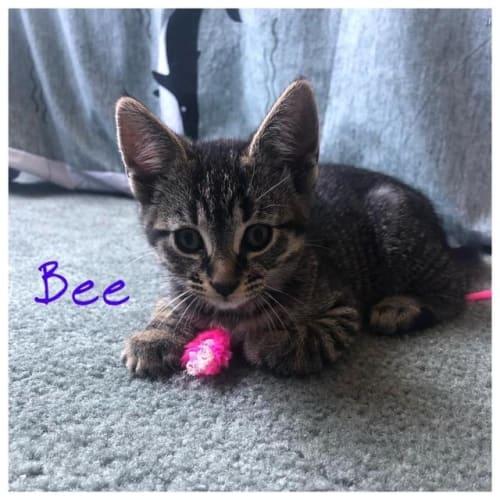 Bee - Domestic Short Hair Cat
