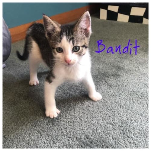 Bandit - Domestic Short Hair Cat