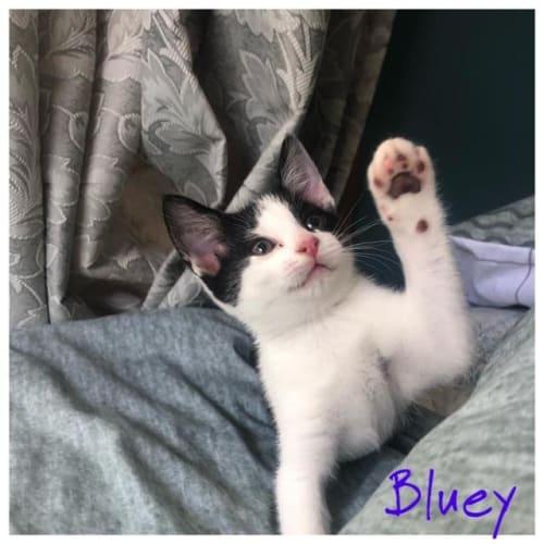 Bluey - Domestic Short Hair Cat
