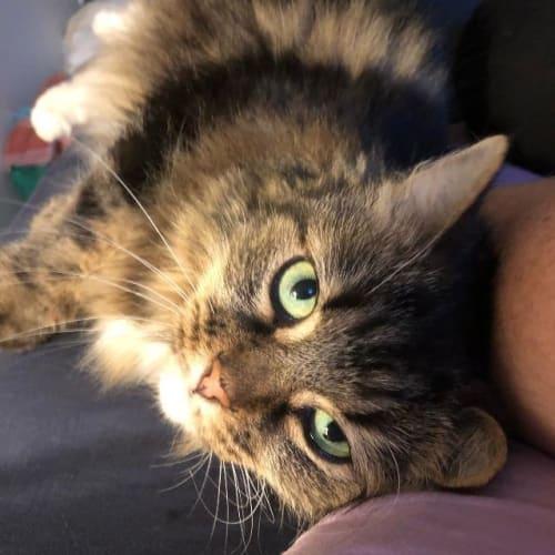 Peta - Domestic Long Hair Cat