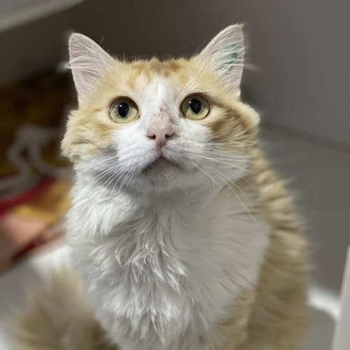 Lucky - Domestic Long Hair Cat