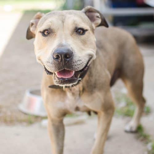 Shelby - Staffordshire Bull Terrier Dog