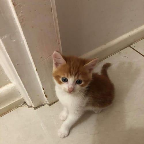 Flash - Domestic Medium Hair Cat