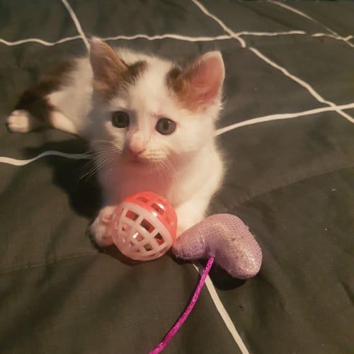 Foka - Domestic Medium Hair Cat