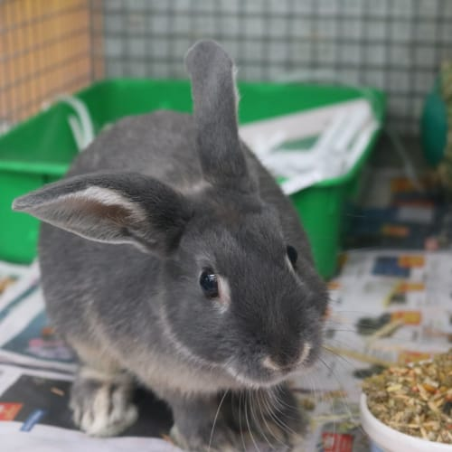 Gerald 934218 - Lop Eared Rabbit