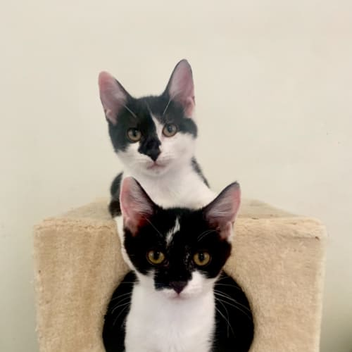 Sushi & Kia - Domestic Short Hair Cat