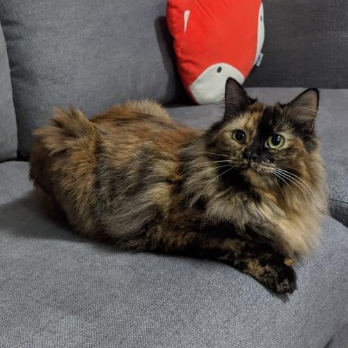 Foxy - Domestic Medium Hair Cat