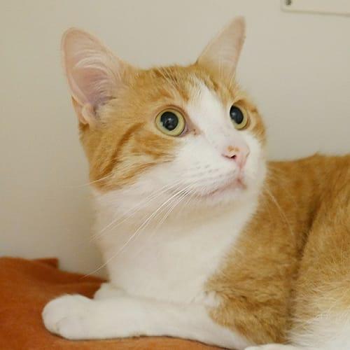 Prince STA004779 - Domestic Short Hair Cat