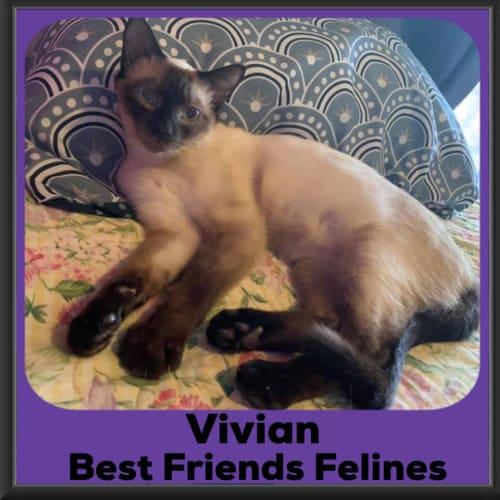 Vivian  - Tonkinese Cat