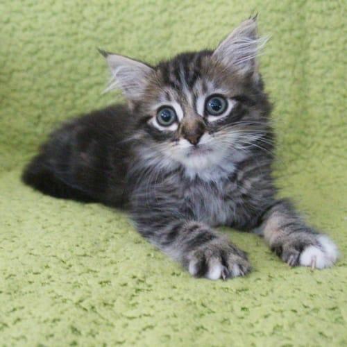 Ewok  - Domestic Medium Hair Cat