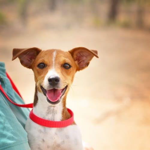 Jinx - Jack Russell Terrier x Miniature Fox Terrier Dog