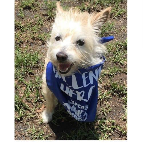 Harry High Pants  - Australian terrier Dog