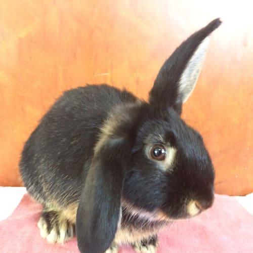Pingu - Dwarf Rabbit