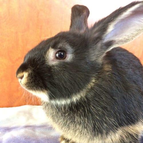 Pippin - Dwarf Rabbit