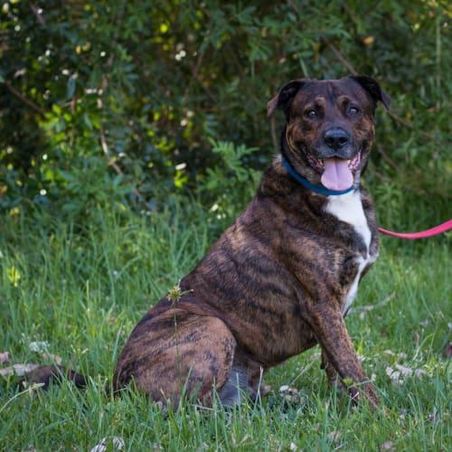 Frank - Rottweiler Dog