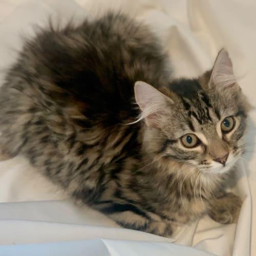 Cleocatra  - Domestic Medium Hair Cat