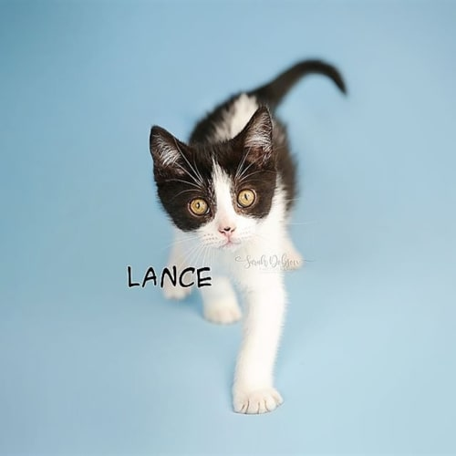 Lance - Domestic Short Hair Cat