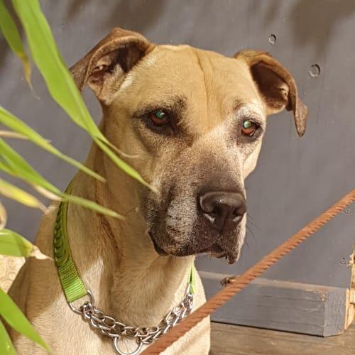 Molly - Mastiff Dog