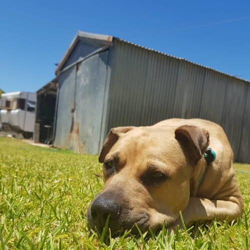 Karma - Labrador x American Staffordshire Terrier x Mastiff Dog