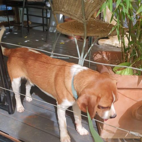 Moe - Beagle Dog