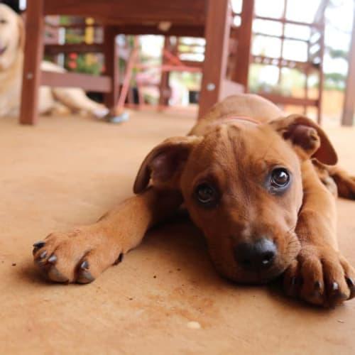Penny  - Kelpie x Staffy Dog