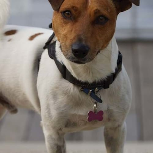Harley - Jack Russell Terrier Dog