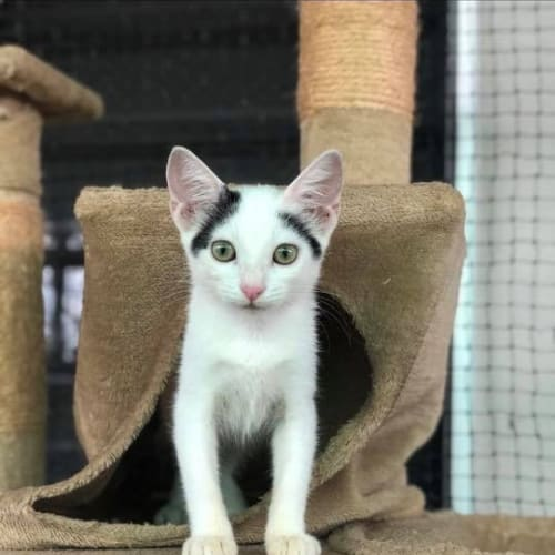 Astrid - Domestic Short Hair Cat
