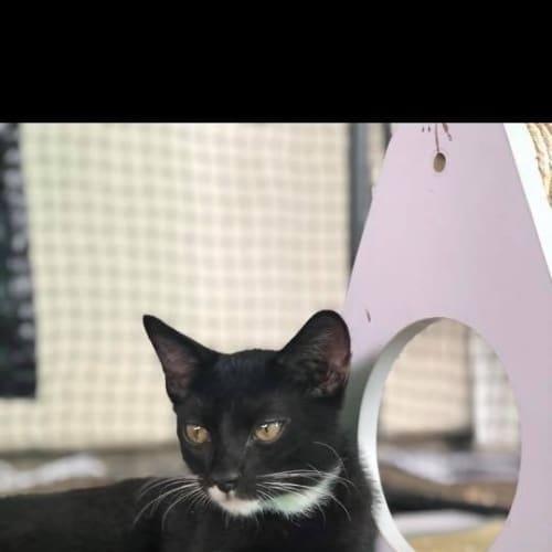 Orion - Domestic Short Hair Cat