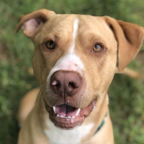 Cudos - American Staffordshire Bull Terrier Dog