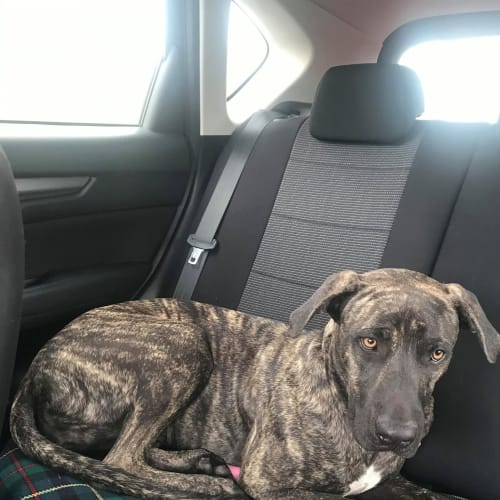 Tilly - Neapolitan Mastiff Dog