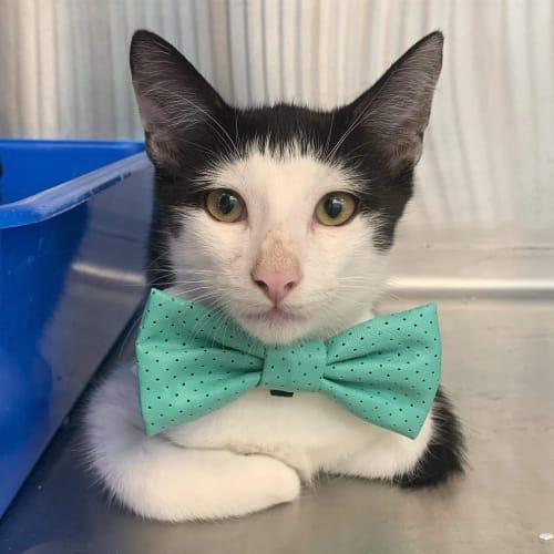Locky - Domestic Short Hair Cat