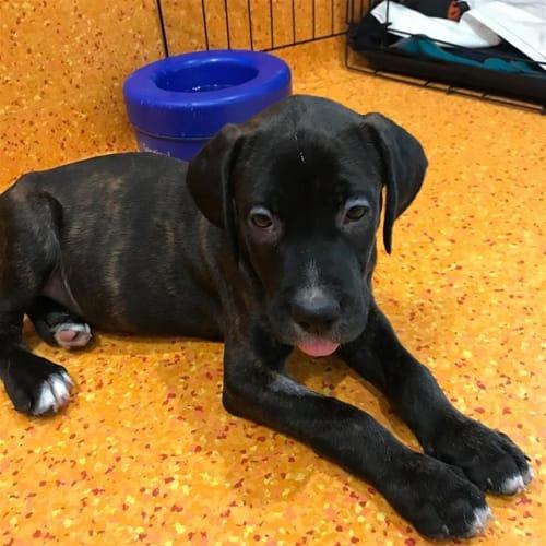 Brando - Bullmastiff x Neapolitan Mastiff Dog