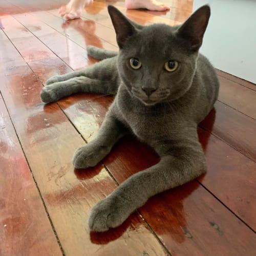 Smoky - Russian Blue x Persian Cat