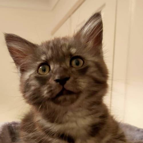 Frankie - Domestic Medium Hair Cat