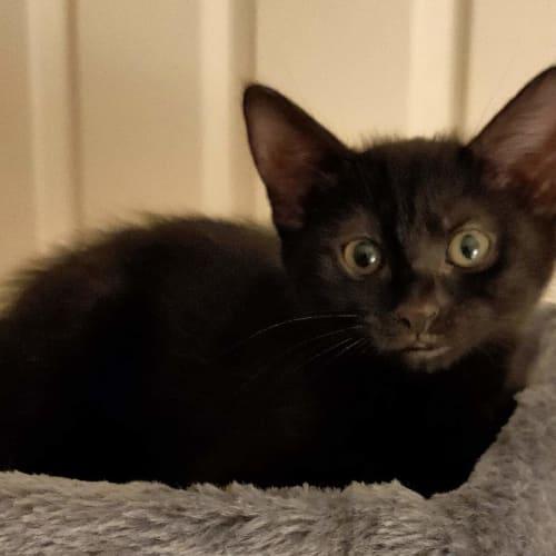 Fran  - Domestic Short Hair Cat
