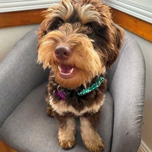 Barney - Poodle Dog