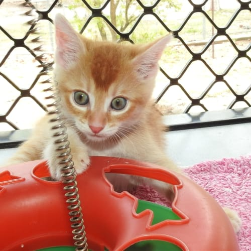 Giza - Domestic Short Hair Cat