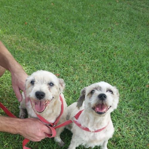 Sonny and Cher  - Maltese x Shih Tzu Dog