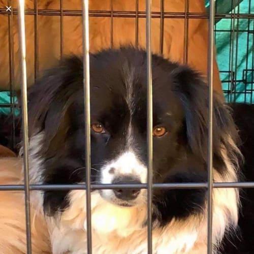 Gypsy with Sue - Border Collie Dog