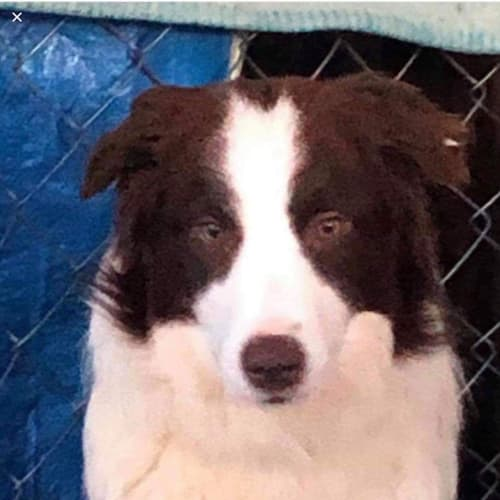 Brooke's with Deb - Border Collie Dog