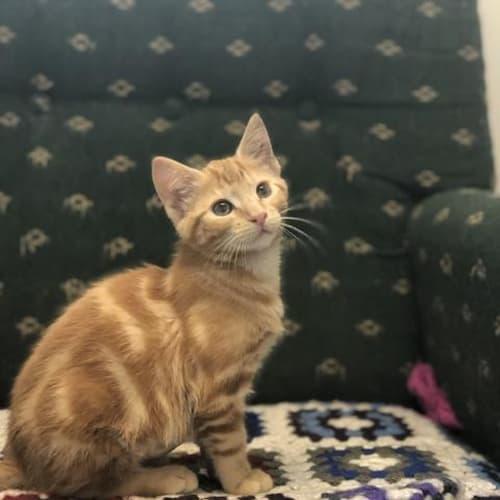 Agitha (Aggie) - Domestic Short Hair Cat