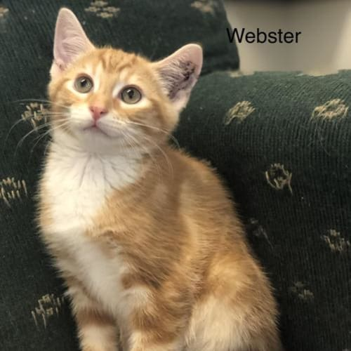 Webster - Domestic Short Hair Cat