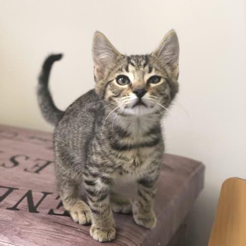 Bernie - Domestic Short Hair Cat