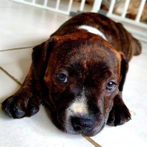 Cookie - Staffy Dog