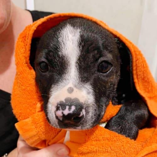 Freckle - Staffy Dog