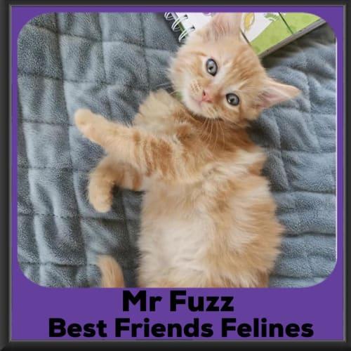 Mr Fuzz  - Domestic Medium Hair Cat