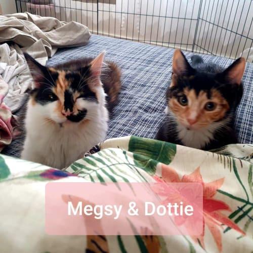 Megsy & Dottie  ❤❤ - Domestic Medium Hair Cat