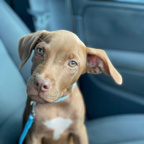 Leo - Kelpie Dog
