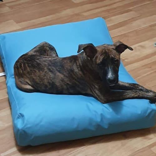 Kingston - Staffy Dog